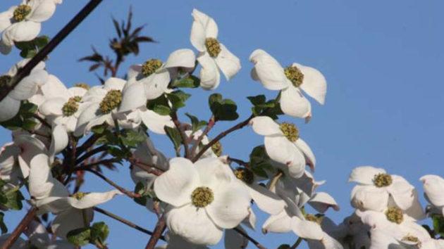 Cornus 'Eddie's White Wonder' - cvet okrasnega drena sorte Eddie's White Wonder v maju, vrtni center
