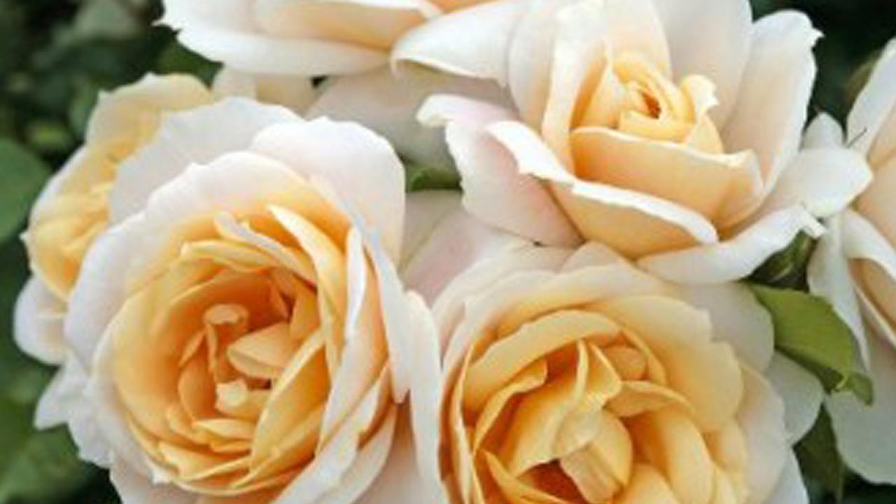 Vrtnice Kordes
